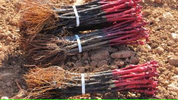 Seminario de Investigación de Sandra Haydee D´Innocenzo: Caracterización de aislamientos de Agrobacterium sp. obtenidos de plantas con agallas provenientes de viñedos de Mendoza