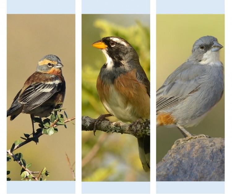 Seminario de Investigación: Efecto del tiempo de manipulación y la rentabilidad sobre las preferencias de semillas por aves granívoras del desierto del Monte