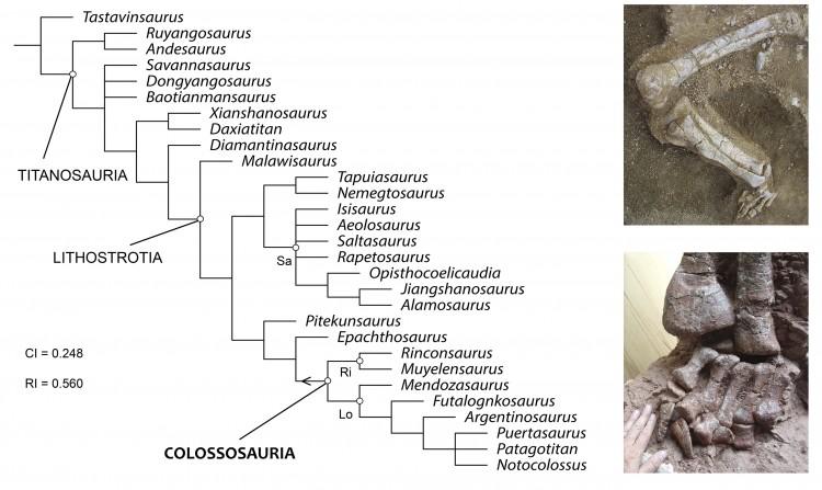 Un nuevo linaje de dinosaurios gigantes, los colossosaurios