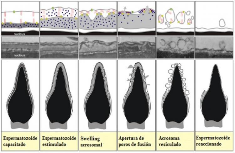 Defensa de seminario de investigación de Luis Santiago Poblete: Caracterización de los flujos iónicos y de agua intracelulares necesarios durante la reacción acrosomal en espermatozoides de humano