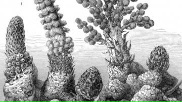 Defensa de tesis de Josefina Wohlfeiler Altavilla: Análisis Evolutivo y Genético de Plantas Parásitas del Género Lophophytum