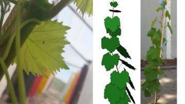 Defensa de seminario: Respuestas arquitecturales de Vitis vinifera cv. Malbec al  ambiente lumínico