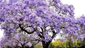 Ecología: Kiri, árbol con bondades, pero no salvador del mundo